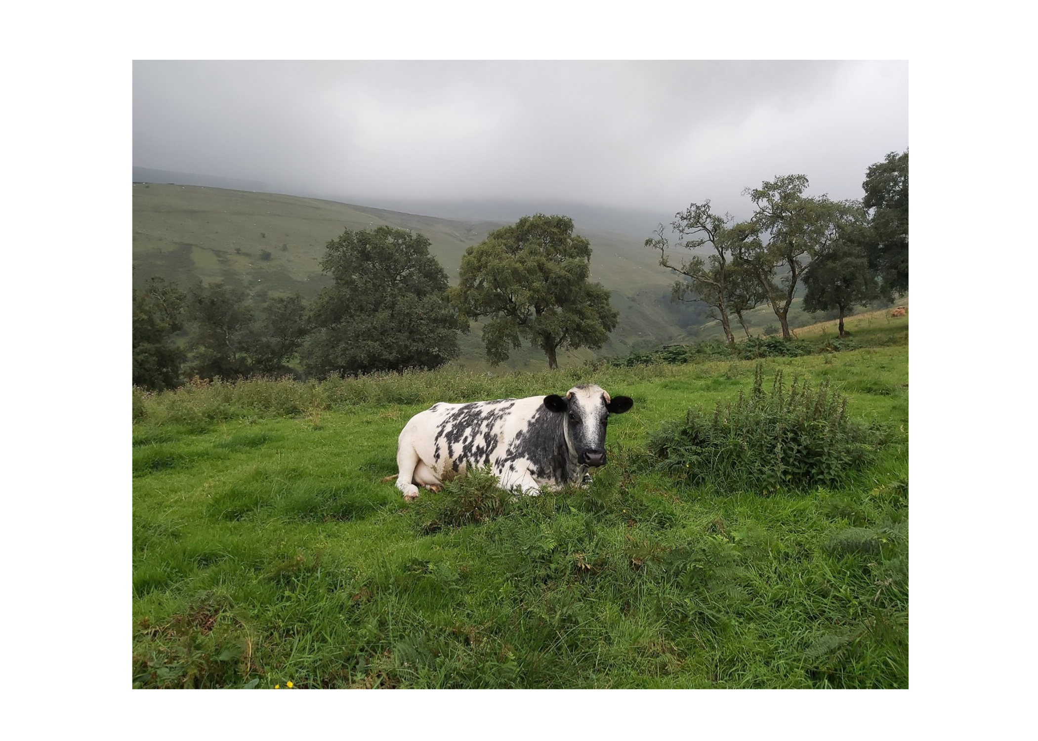 Just Before the Heavens Opened ~ Cow (with border)