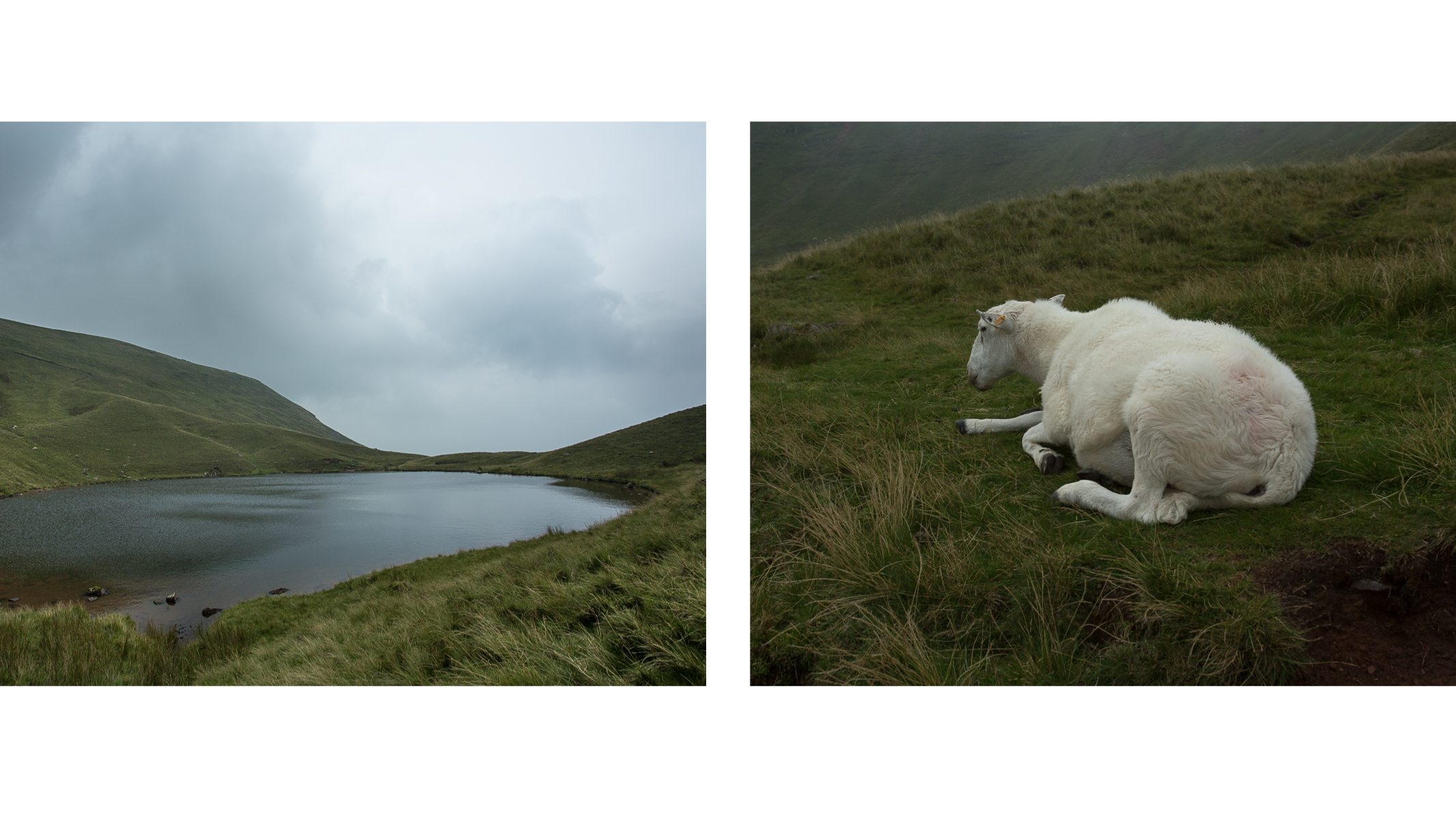 Talgarth Project ~ Sheep diptych